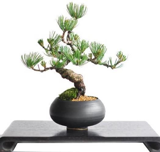 盆栽妙 枝ぶりの良い五葉松の盆栽