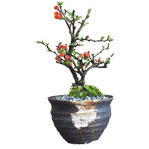 盆栽妙 ミニ長寿梅 久庵手作りつぼ鉢