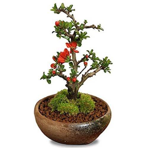 ミニ盆栽:長寿梅