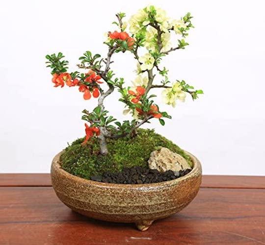 小品盆栽:紅白長寿梅寄せ植え