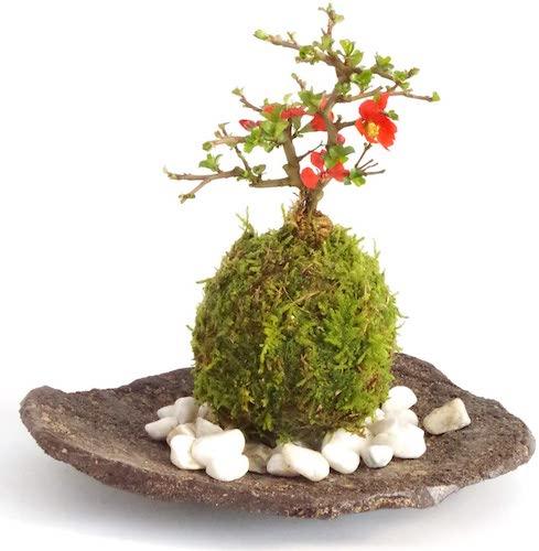 紅長寿梅(べにちょうじゅばい)の苔玉(こけだま)