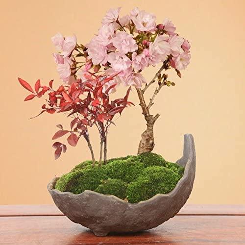 桜・南天寄せ植え