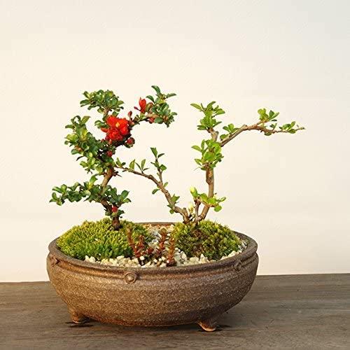 紅白長寿梅(こうはくちょうじゅばい)の寄せ植え盆栽(信楽焼鉢)